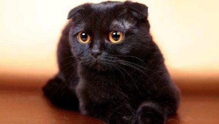 Все о черных вислоухих котах