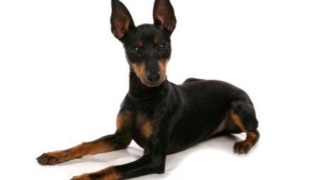 Английский той-терьер: описание породы и уход за собаками