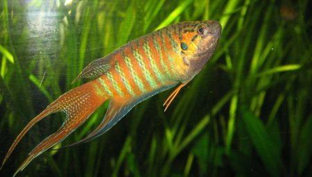 Макропод: описание рыбы, содержание и уход