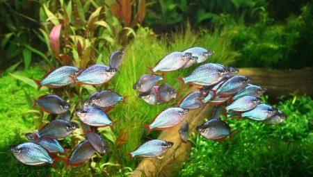 Радужницы: виды аквариумных рыбок и особенности их содержания
