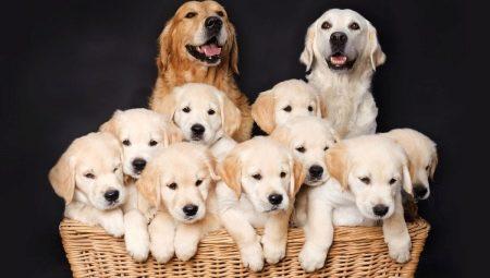 Все о разведении собак