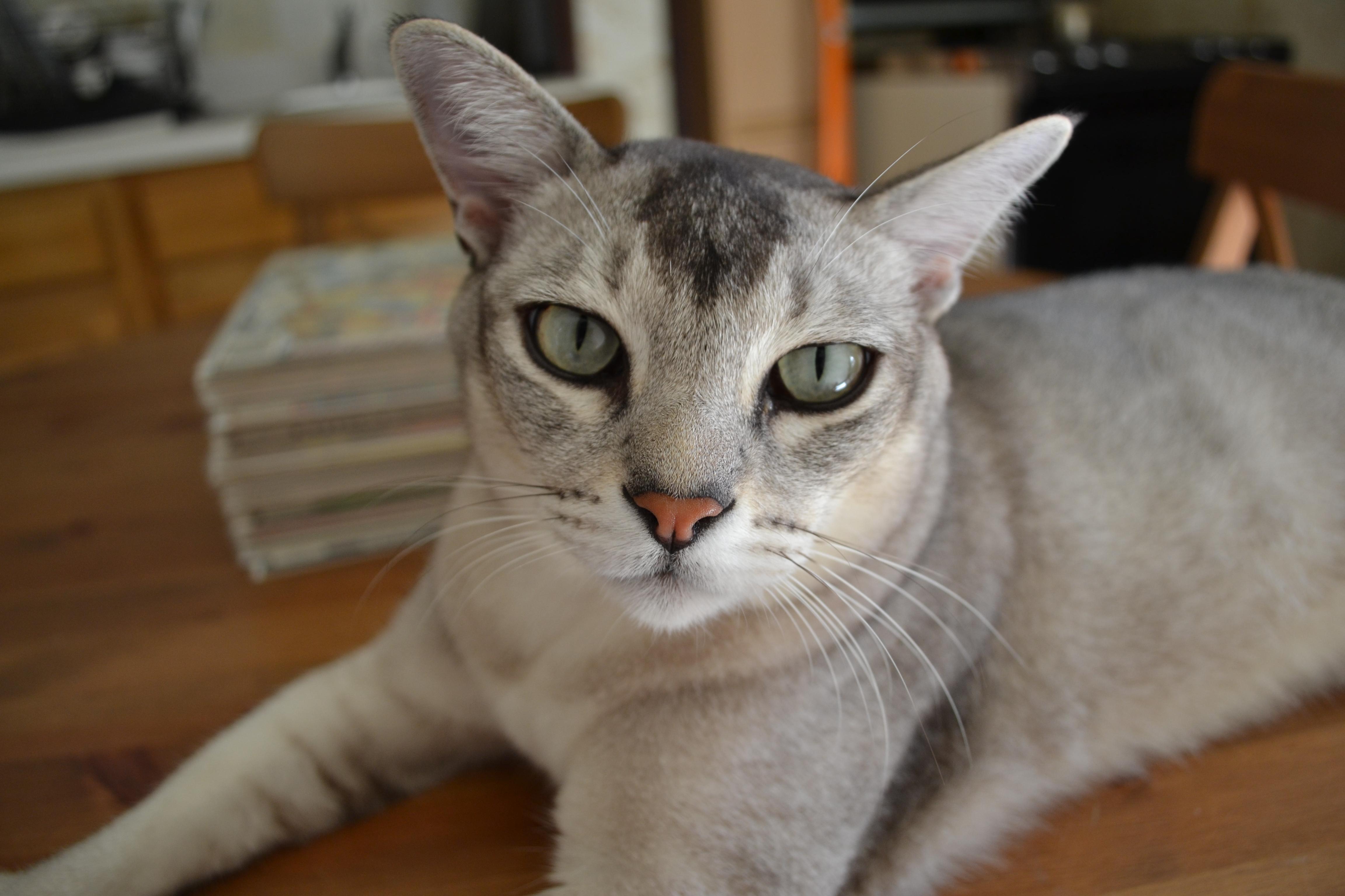 Азиатская кошка цветное великолепие