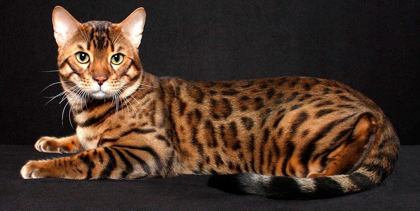 Особенности породы бенгальская кошка