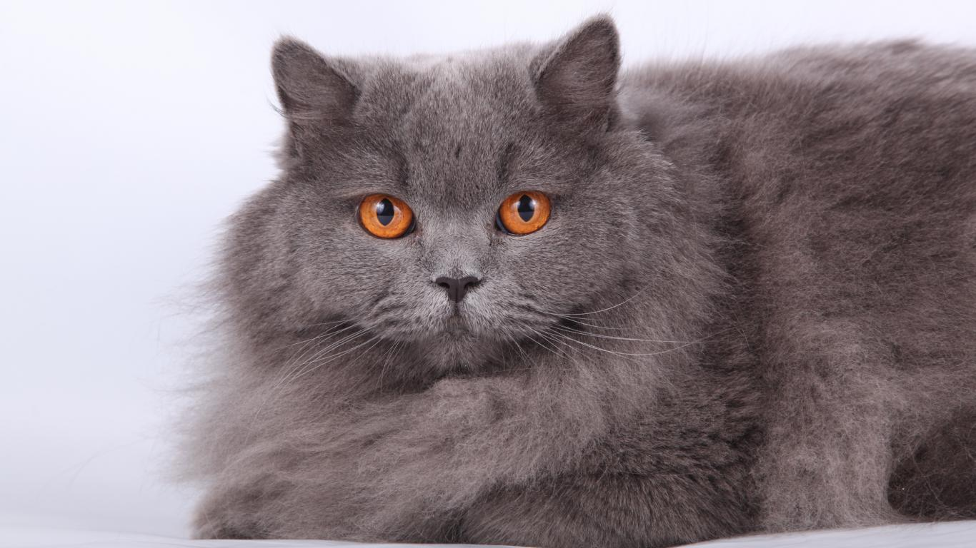 Британский длинношерстный кот фото
