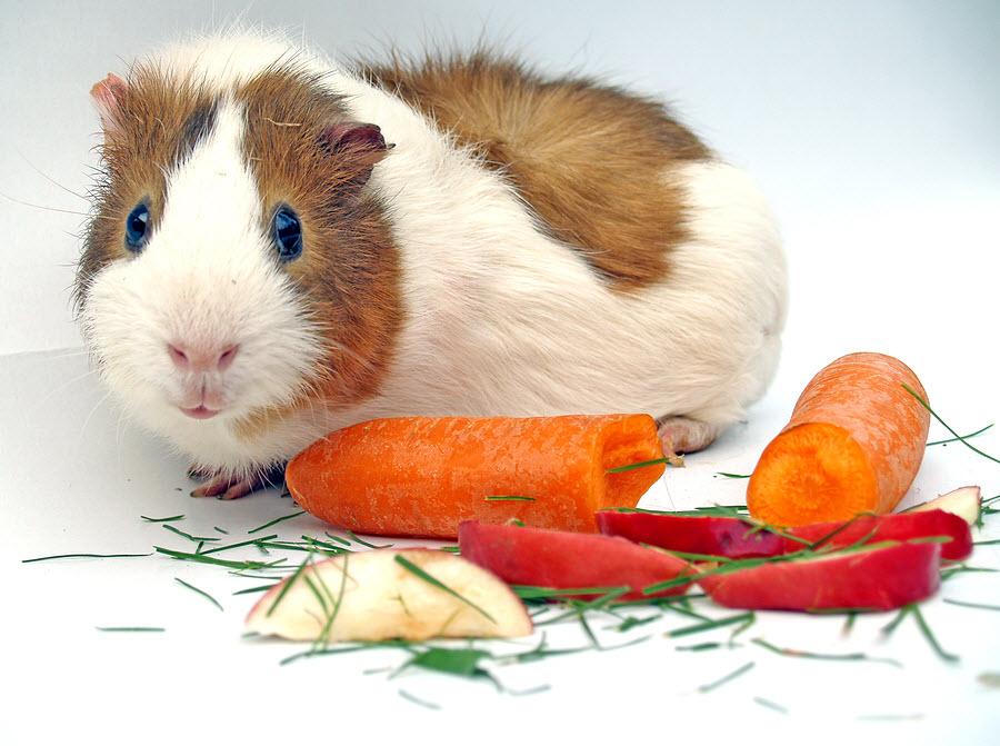 Чем кормить морскую свинку в домашних условиях: готовые корма и список продуктов питания, которые можно и нельзя включать в рацион