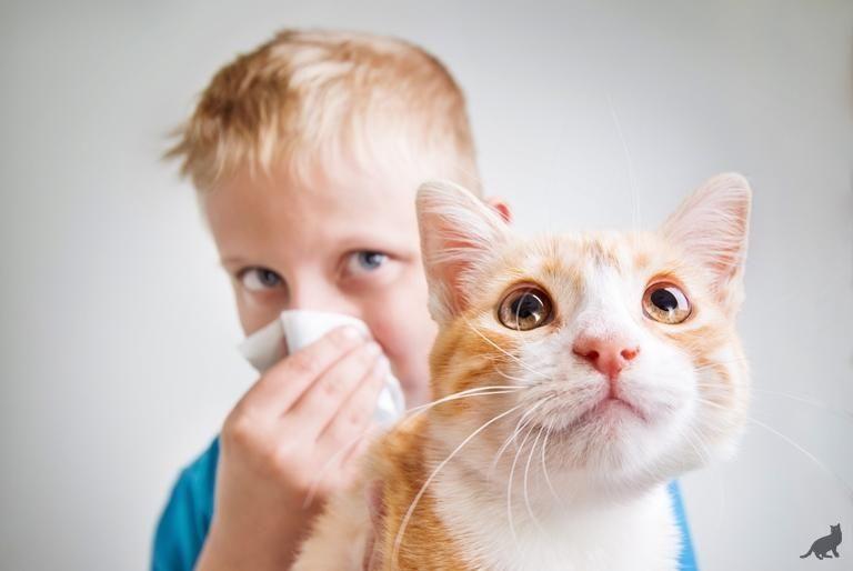 Гипоаллергенные кошки лучшие питомцы для человека с аллергией