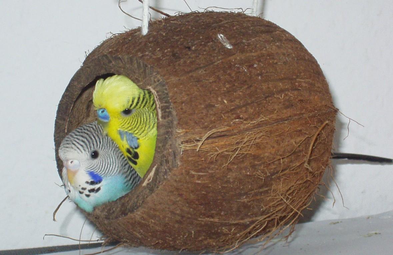 Гнездо волнистого попугая своими руками