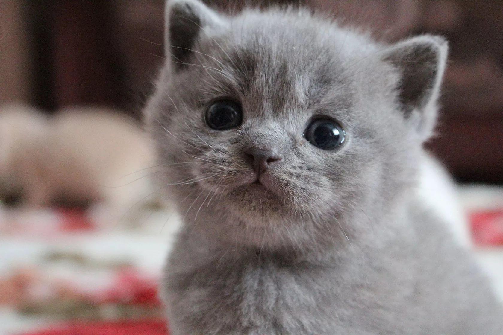 Как правильно чесать кошку британской породы