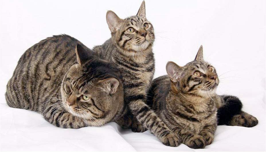 Китайский кот Ли Хуа описание характер питомца и уход за ним