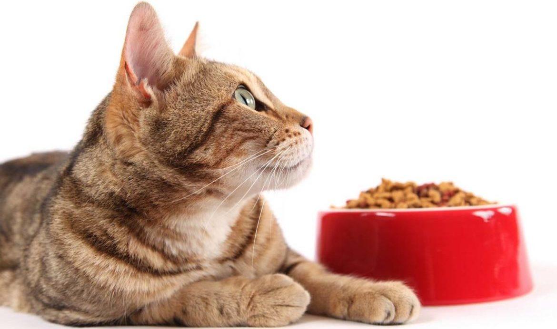 Что такое голодная диета для кошки