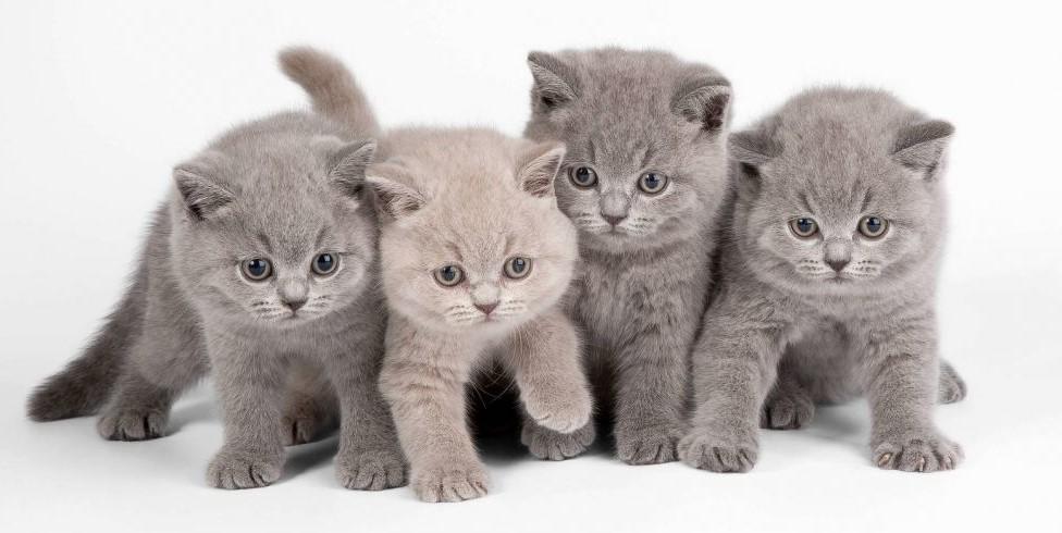 Лучший корм для британских котят: чем кормить правильно