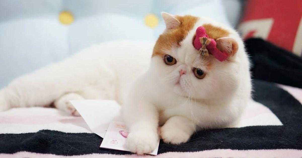 освежающее плюшевые кошки порода фото таких