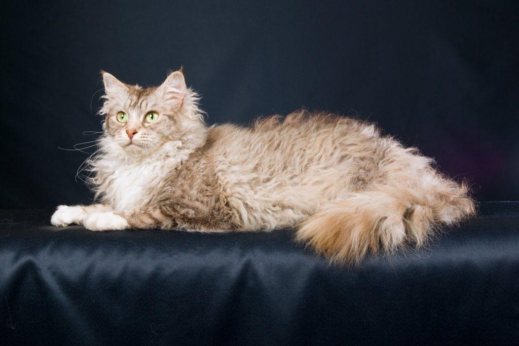 Лаперм кошки и коты