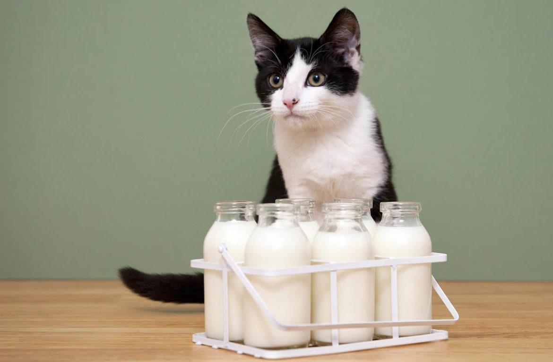 Можно ли кошкам молоко вся правда о молочном продукте