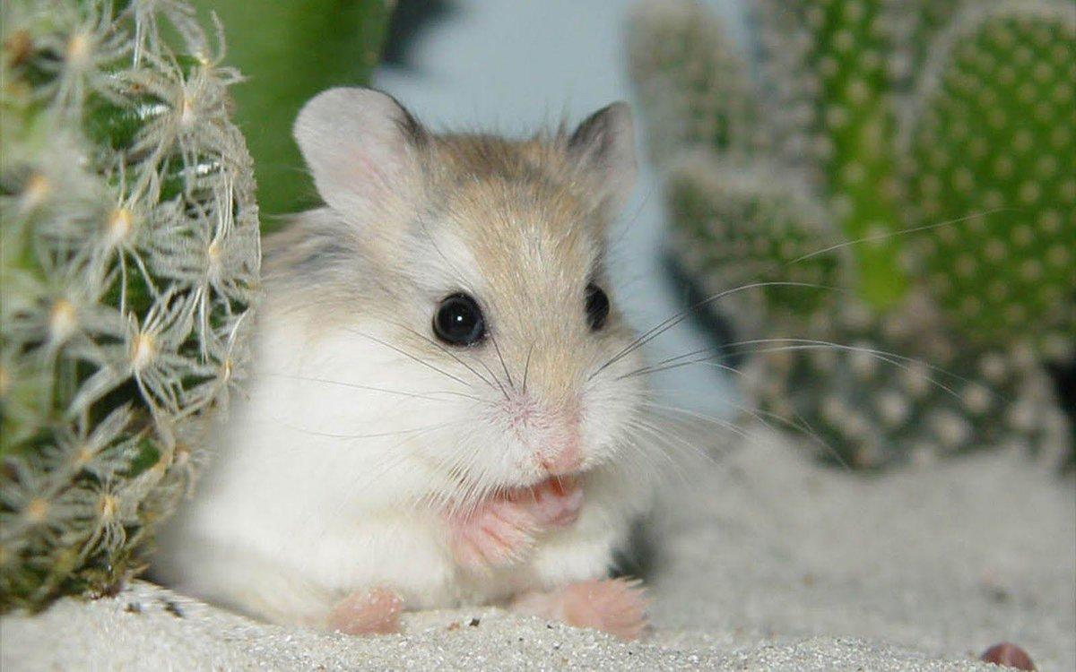 Милые хомячки фото