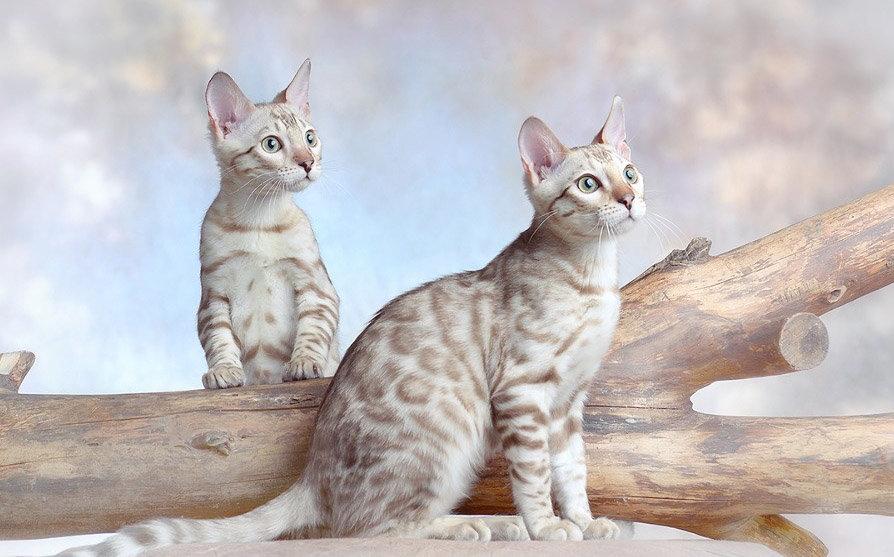 для красивые картинки белый бенгальских кошек приправы