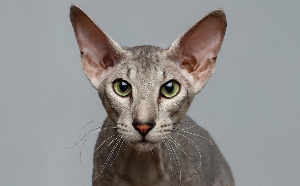 Петерболд (52 фото): особенности кошек породы петербургский сфинкс, описание характера котов и котят. Сколько лет они живут?