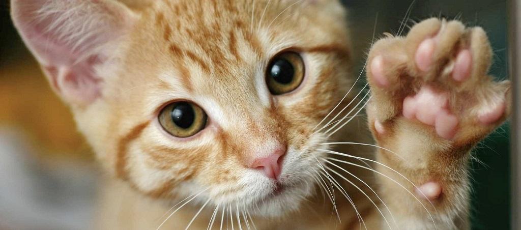 Почему кошки топчутся лапами на человеке?