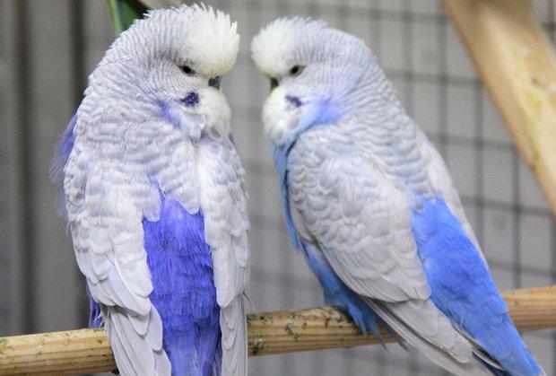 Попугай чех (23 фото): описание породы. Чем отличаются выставочные птицы от обычных волнистых попугаев?