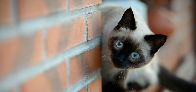 Характер и описание сиамских кошек