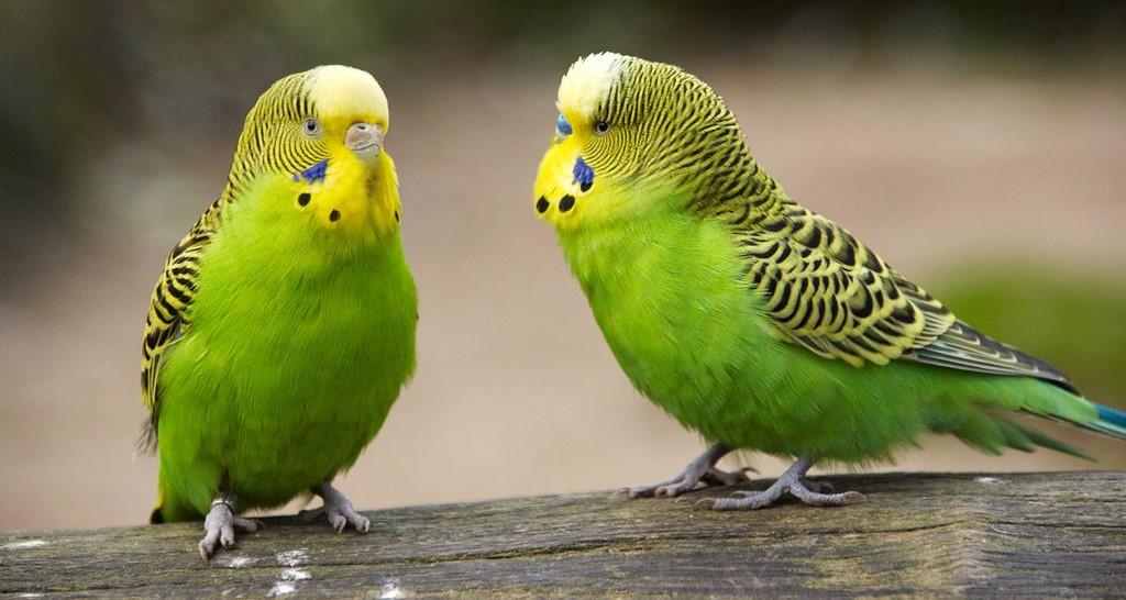 Сколько живут волнистые попугаи? Сколько лет живут пары в домашних условиях? Продолжительность жизни  в клетке без партнера