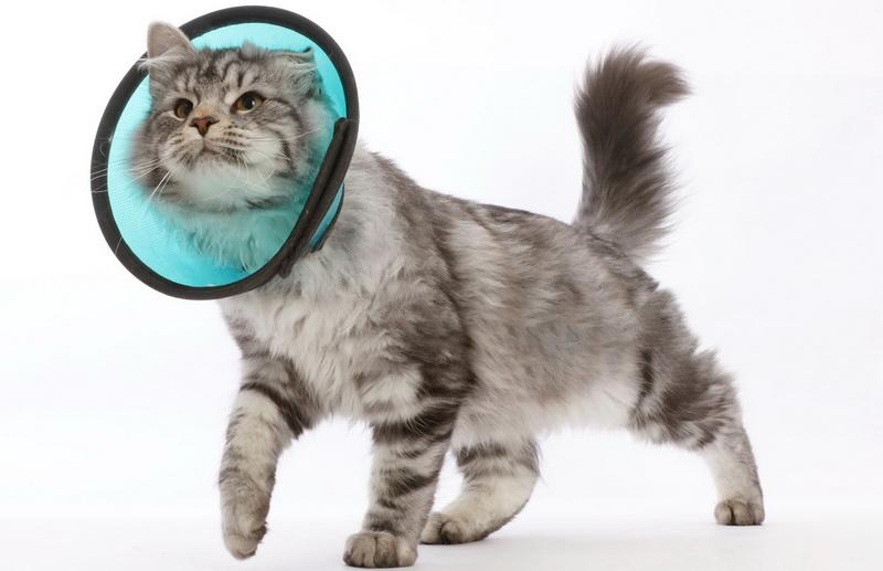 Воротник для кошки (38 фото): как сделать своими руками из пластиковой бутылки? Как выбрать защитный послеоперационный воротник для кота?