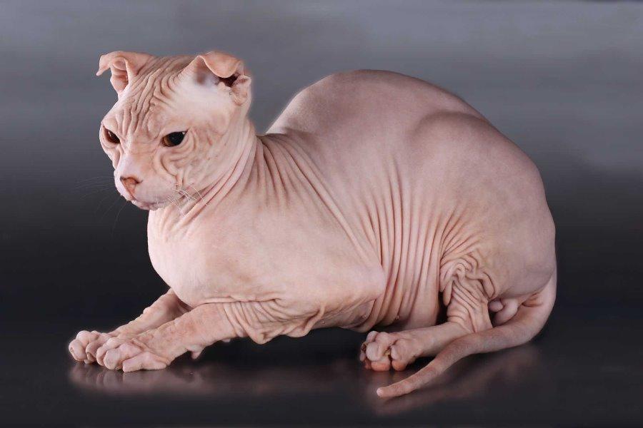Украинский левкой - фото и описание породы кошек (характер, уход и кормление)
