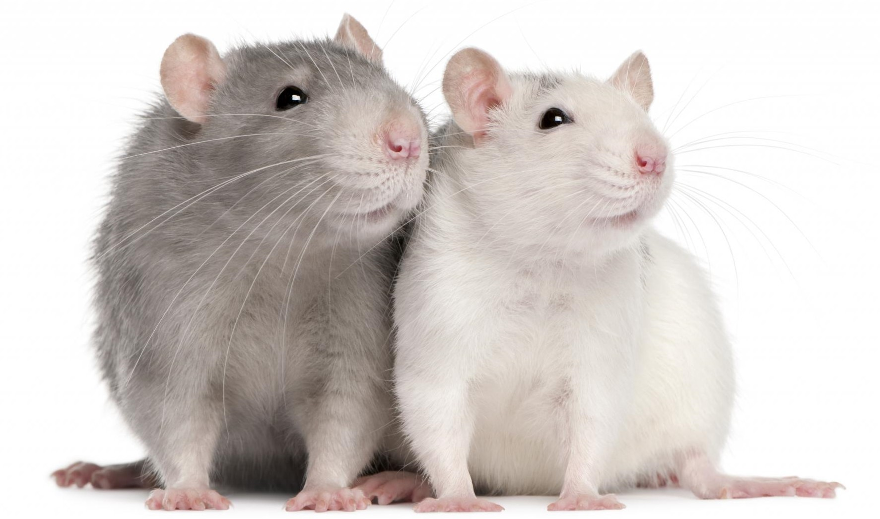 Крыса Дамбо: особенности вида, уход и содержание