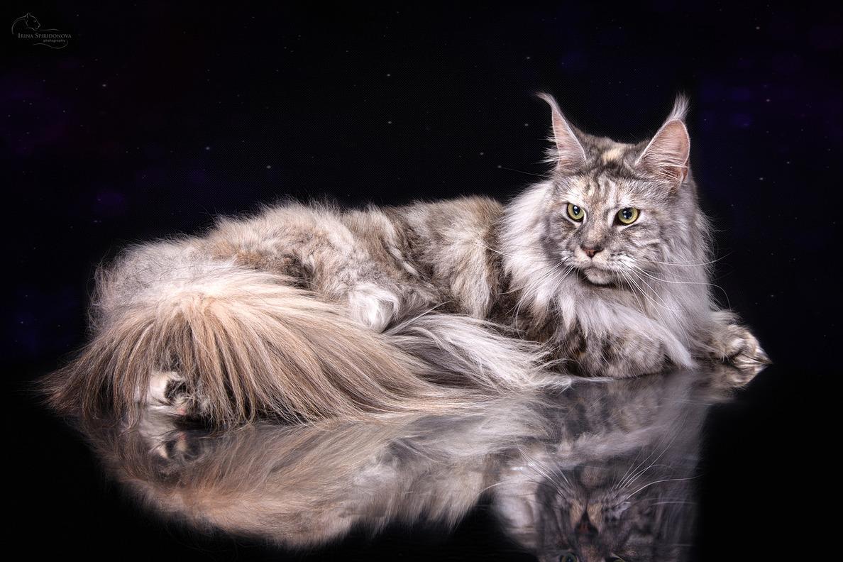 нас поздравления с кошками мейн-кун немного