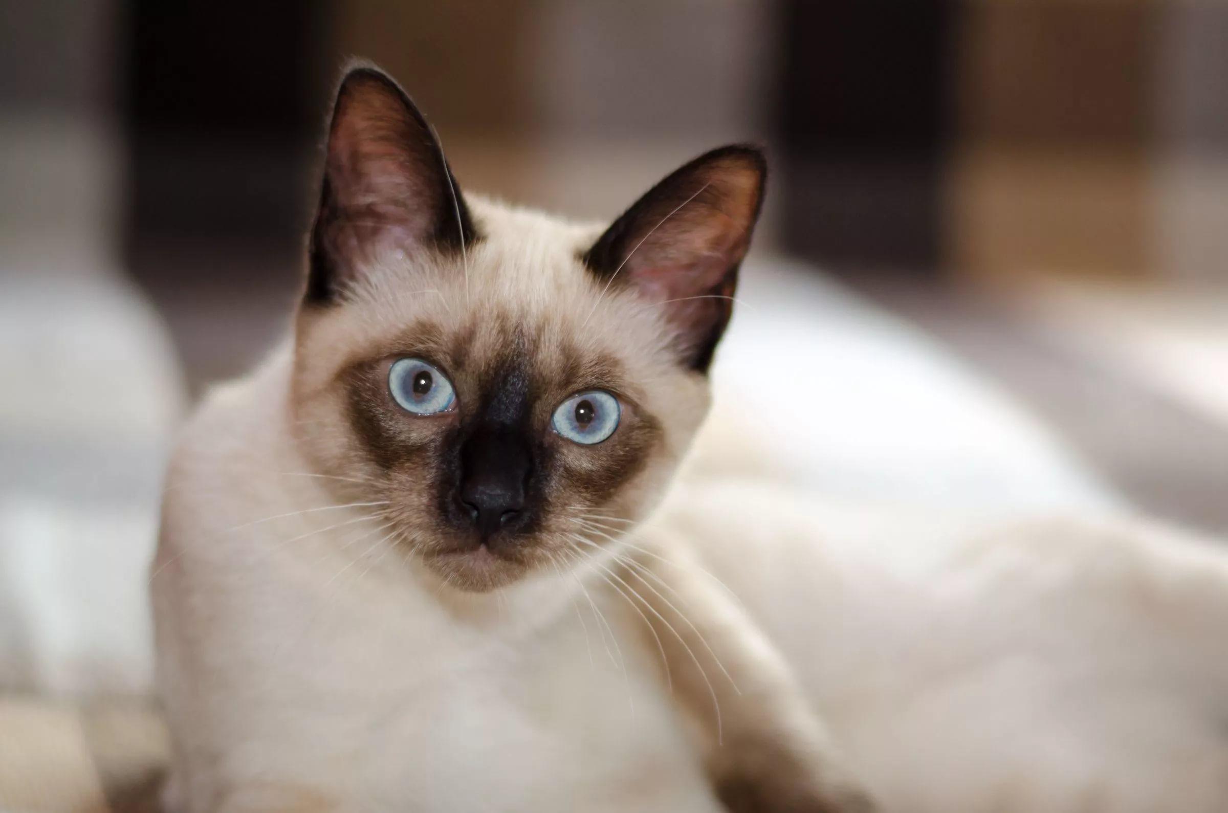 Днем, картинки сиамские кошки
