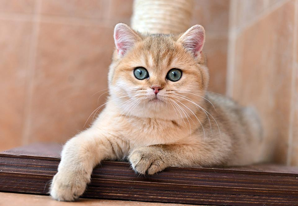 коты британская шиншилла думаешь сколько