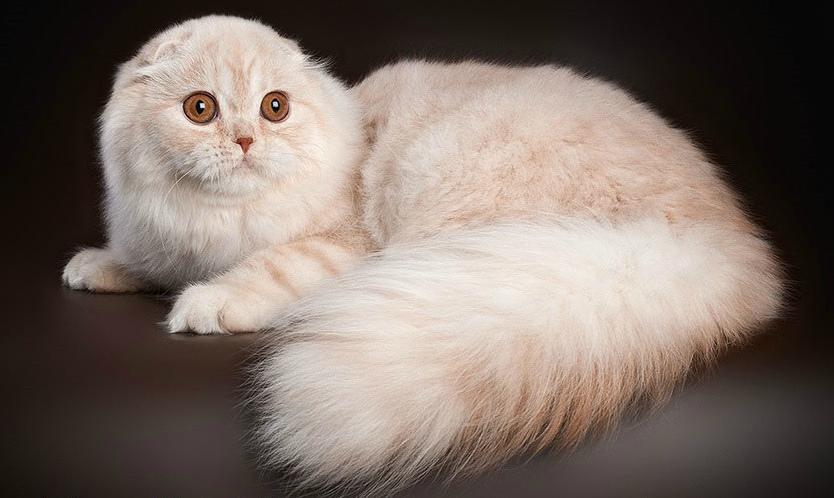 шотландские вислоухие длинношерстные котята фото популярный элемент