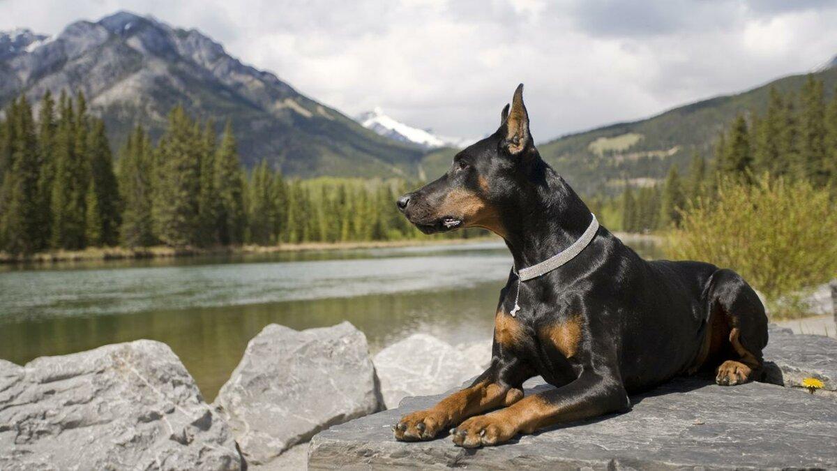 Характеристика породы собак доберман: экстерьер, особенности характера и возможные заболевания