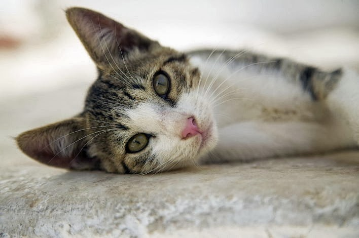 Эгейская кошка Эгейский кот