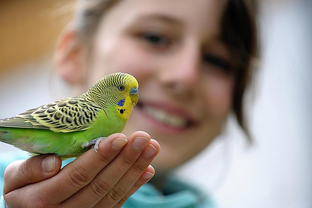 как научить разговаривать волнистого попугая если