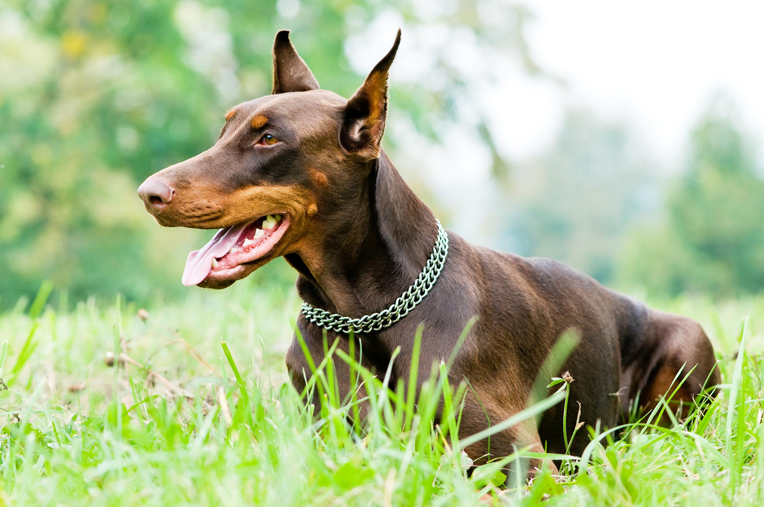 обнаруживаются картинки собаки добермана пинчера свою самую удачную