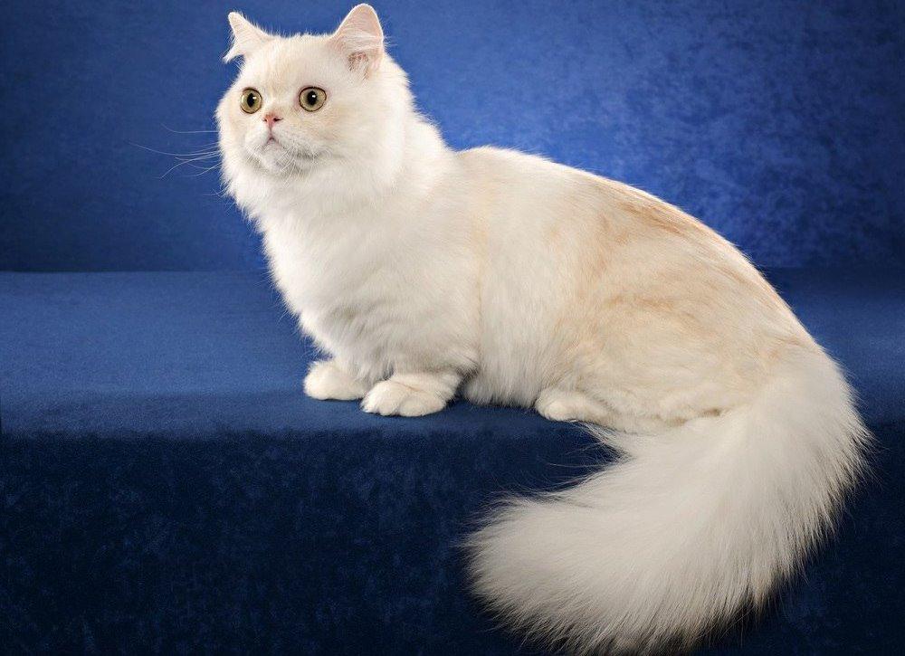 Подробное описание породы кошек менуэт наполеон