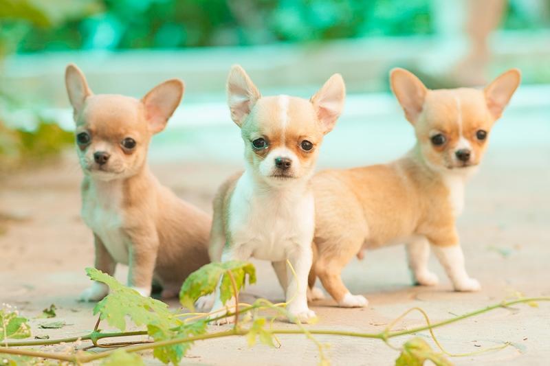 Картинки собак чихуахуа мини
