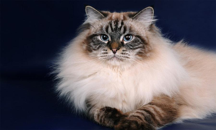 Картинки кошек породы невская маскарадная