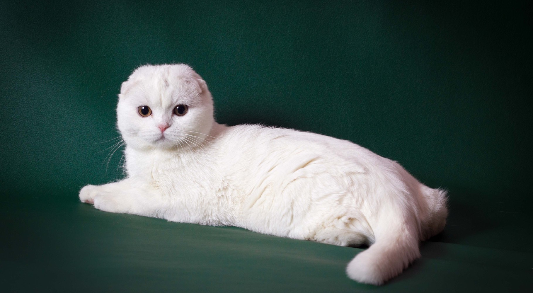 Фото шотландские котята белый