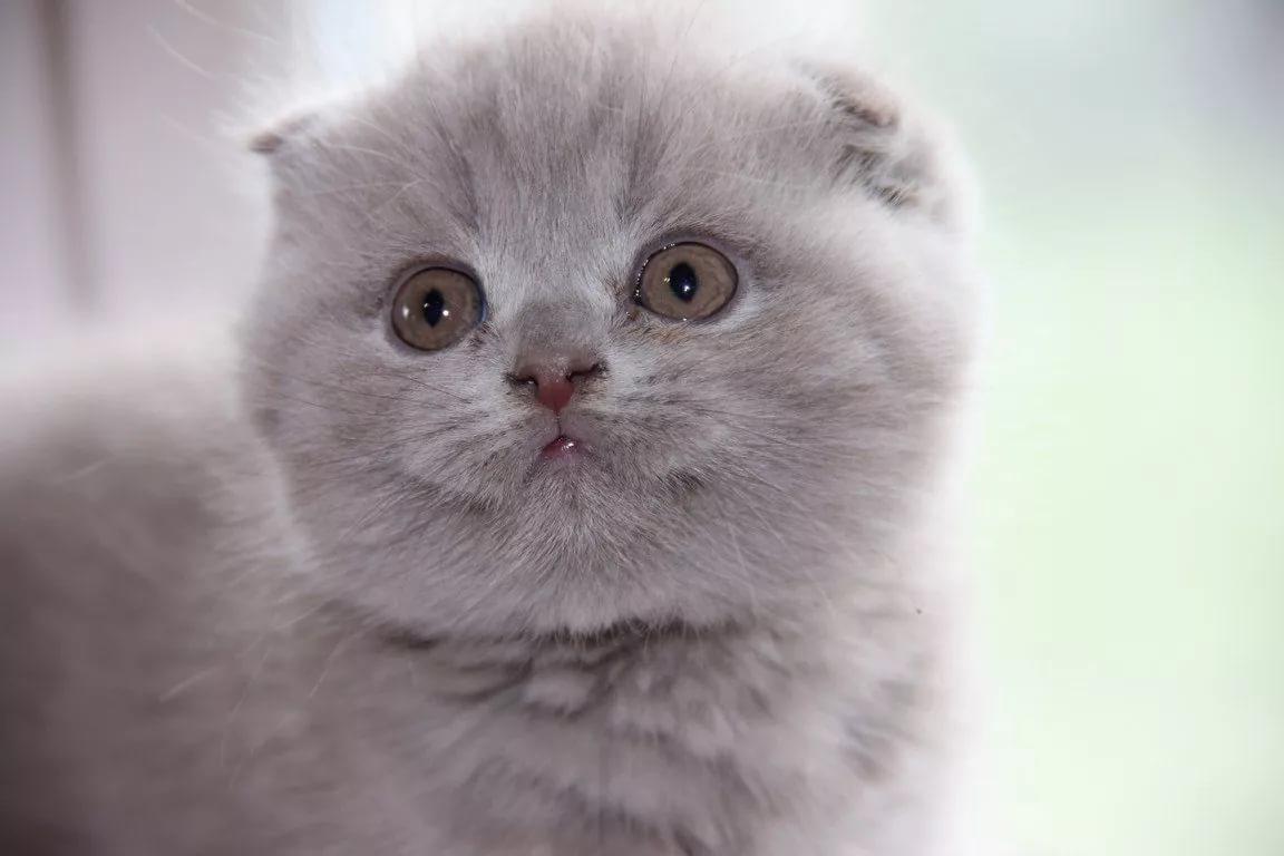 кто лиловый окрас шотландских кошек фото заведения великобритании