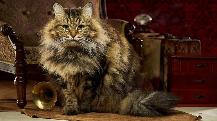 Повадки сибирской кошки что нужно знать заводчику