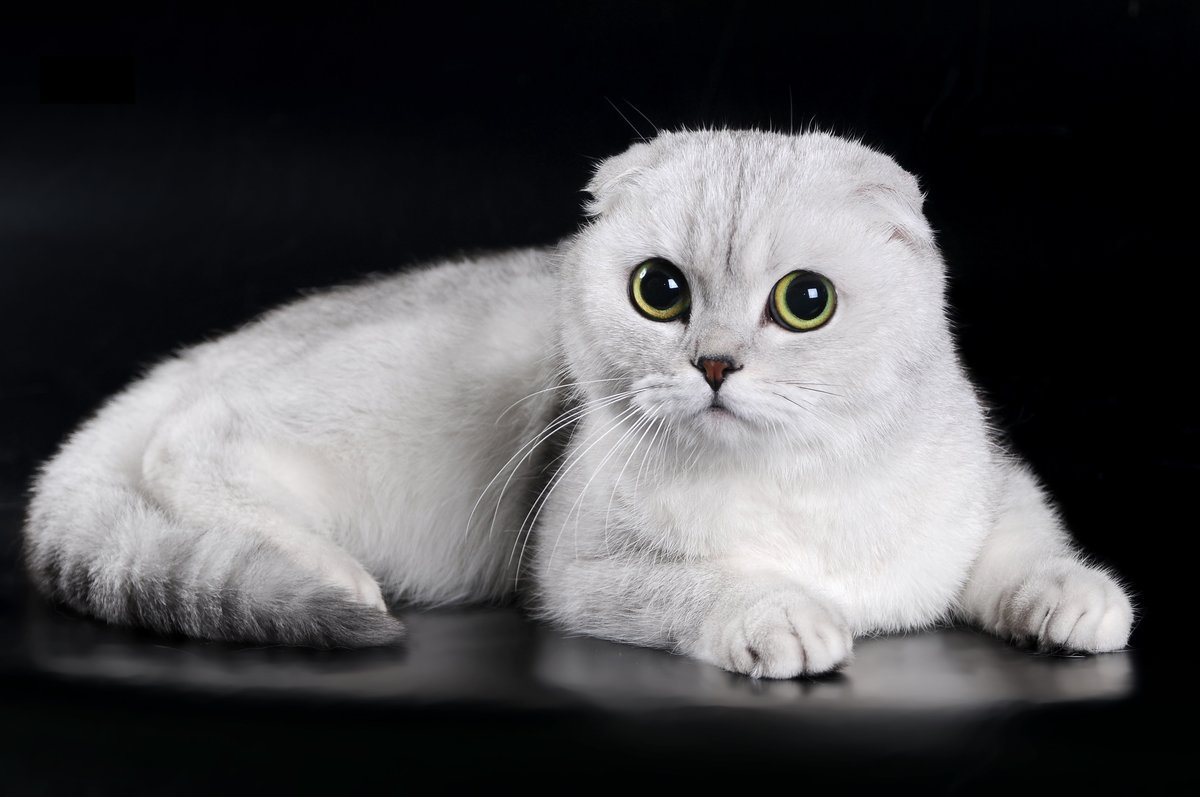 Фото породистых шотландских вислоухих котят