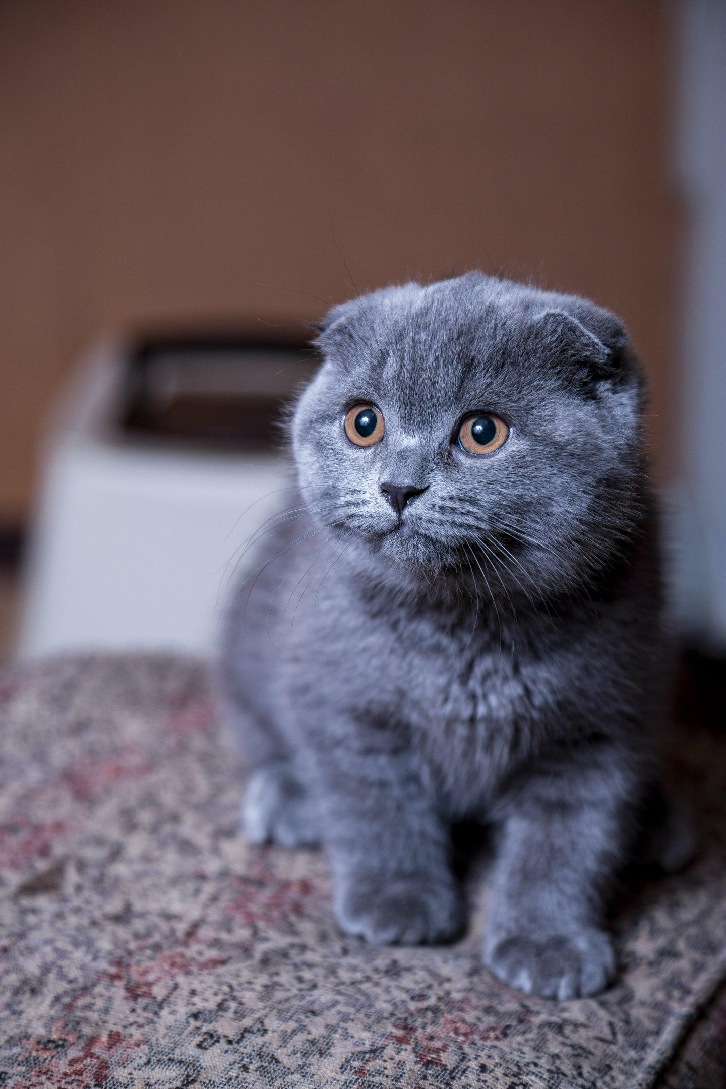 кошка шотландская прямоухая голубая