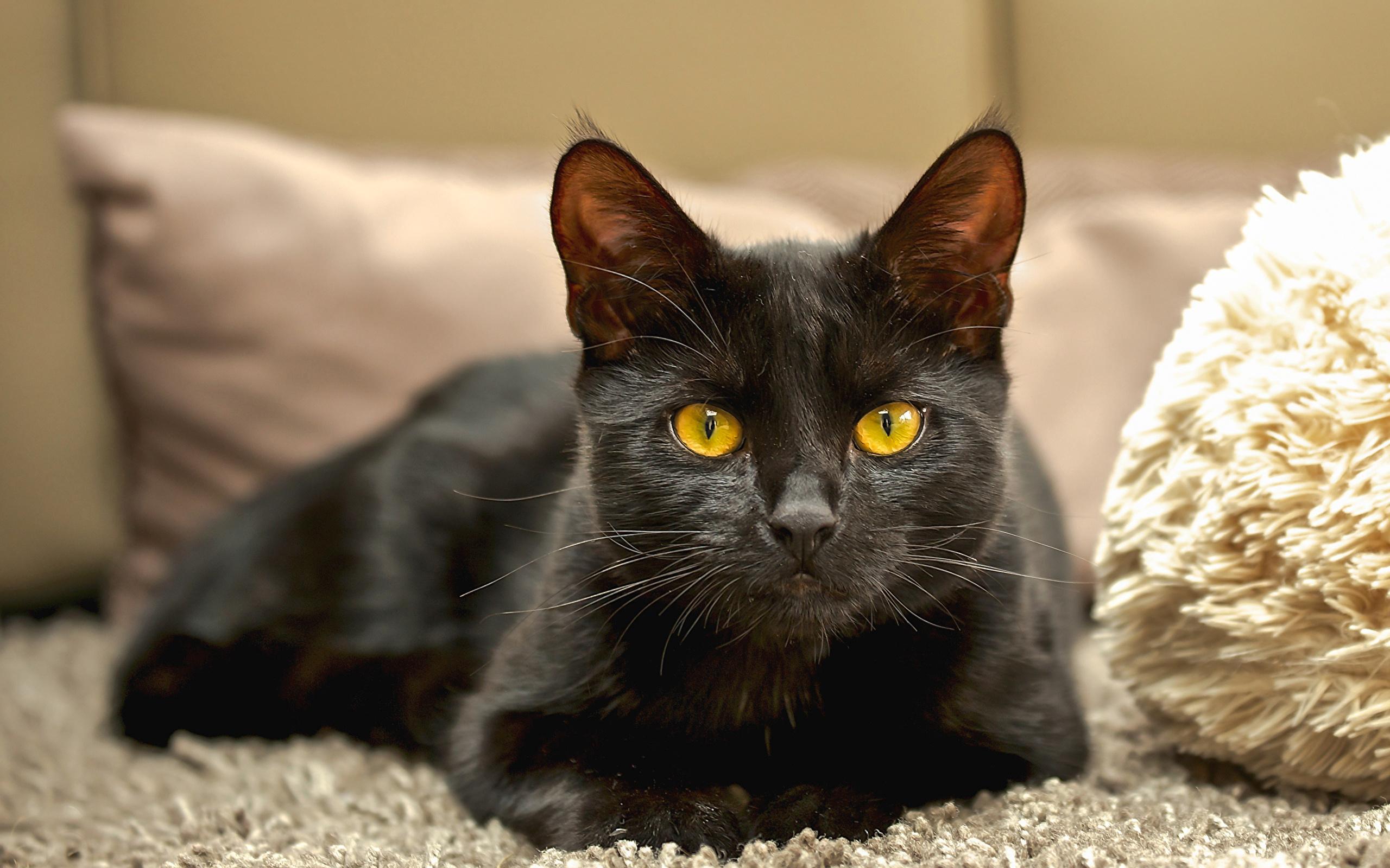 Кошки с оранжевыми, желтыми глазами