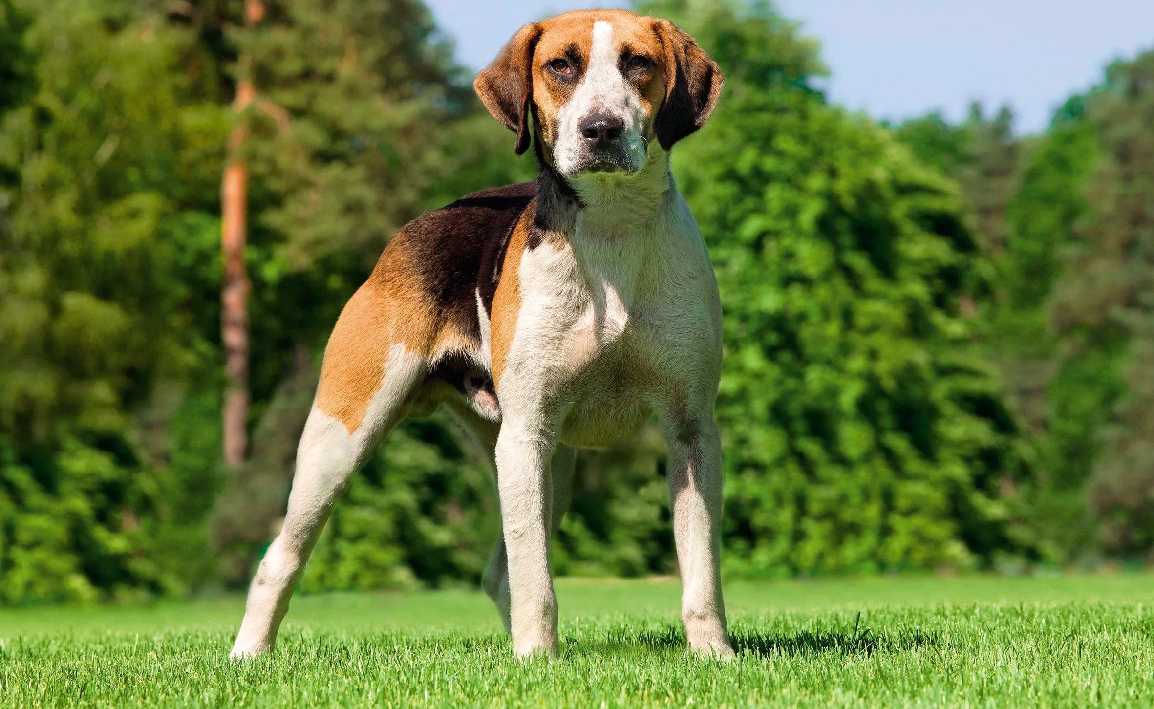 Охотничья гончая собака картинки