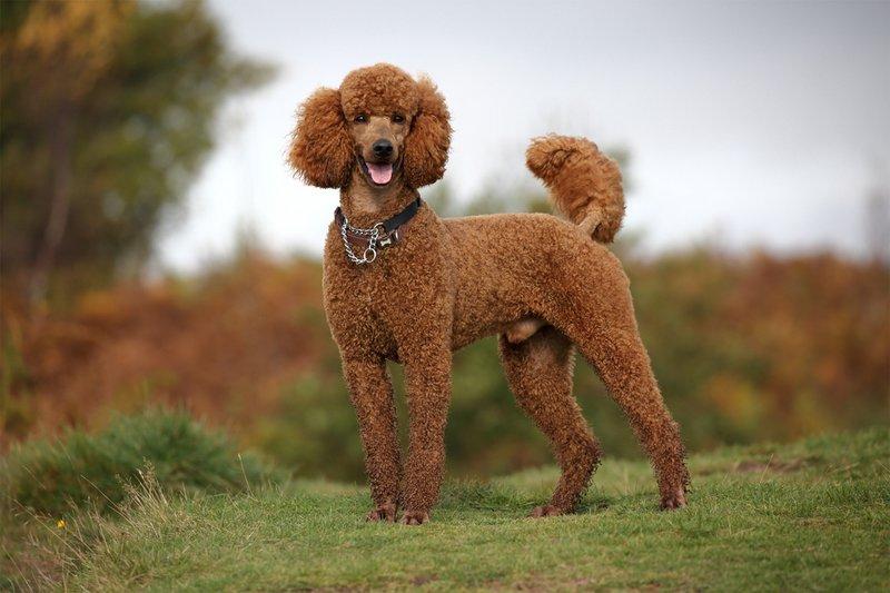 Собака картинки пуделя