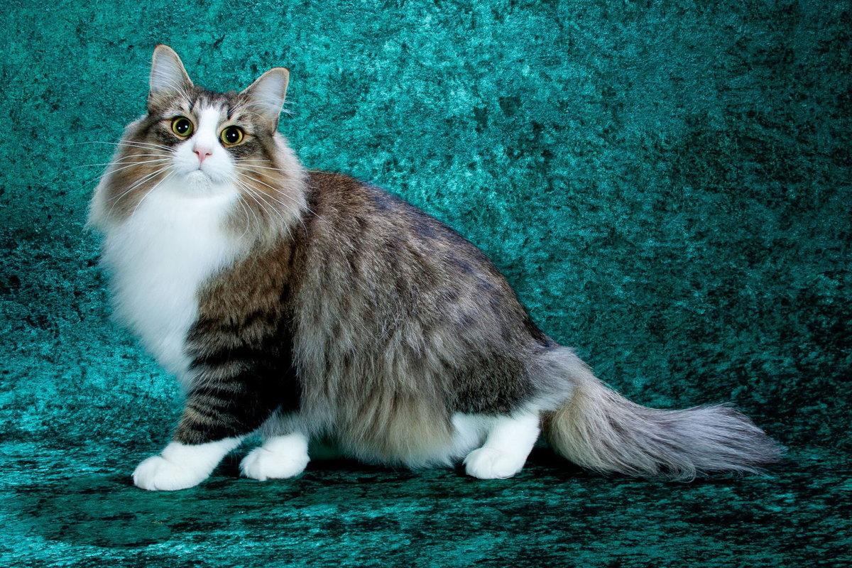 Шерстка кота описание и виды шерстяного покрова кошачьих