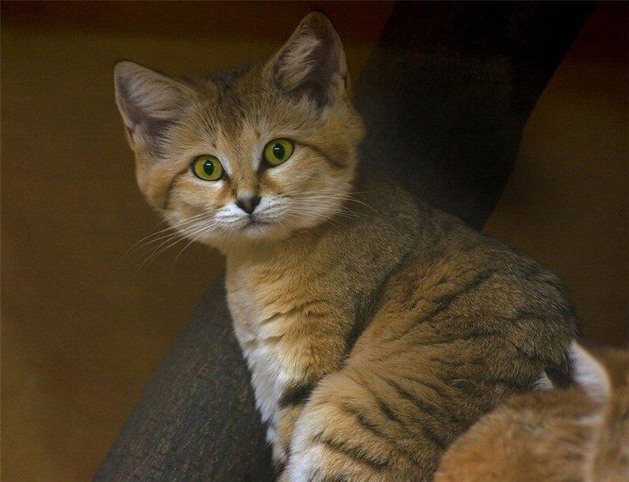 что произошло коты редких пород фото фадеев