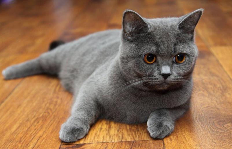 Шотландская прямоухая кошка скоттиш-страйт описание породы характеристика